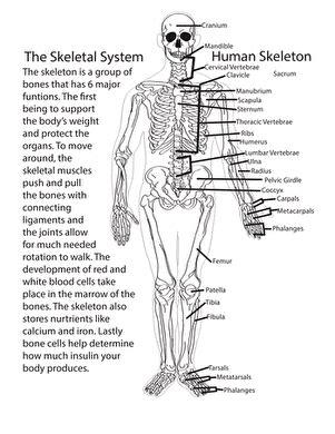 Gallery Skeletal System Worksheets,  Human Anatomy Chart