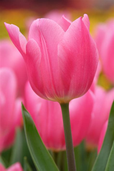 Pink Tulip Backgrounds by Free Photo Pink Tulips Pink Tulip Nature Free