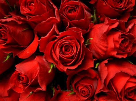 Red Roses Wallpaper  Wallpaper Wide Hd