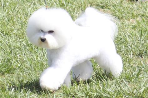 bichon frise breed information bichon frise images