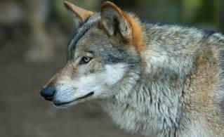le loupe de bureau le loup rôde aux portes de cannes