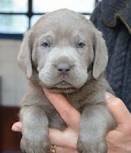 Labrador Silver Lab Puppies for Sale
