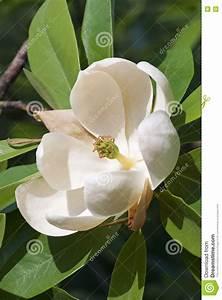 Fleur De Magnolia : fleur de magnolia stock photos royalty free stock images ~ Melissatoandfro.com Idées de Décoration