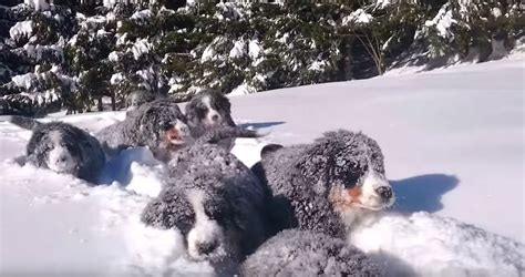 These Bernese Mountain Dog Puppies In The Snow Will Chase Away The Winter Blues
