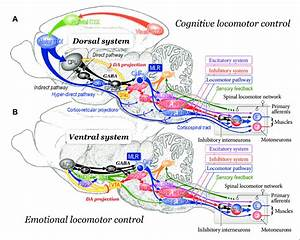 Neuronal Mechanisms Of Cognitive  A  And Emotional  B