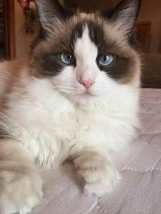 Ragdoll Cats Facts
