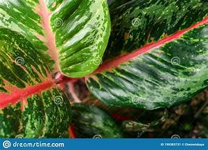 Aglaonema, With, Beautiful, Leaves, As, Background, Closeup, Tropical, Plant, Stock, Image