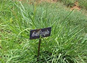 Crop Production::Forage Crops::Guinea Grass