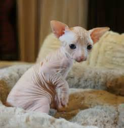 free cats me sphynx cats for adoption cats and kittens for ads