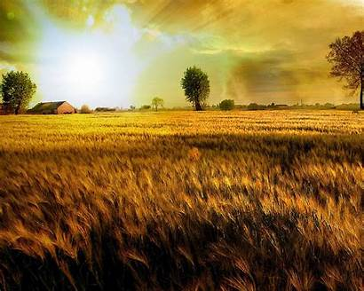 Golden Gold Fields Wallpapers Field Background Nature