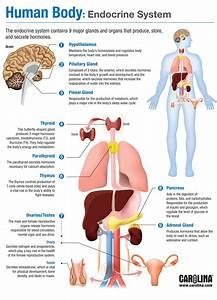 Human Body  Endocrine System