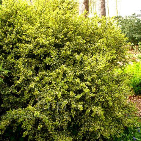 shrub image plant pictures buxus sempervirens elegantissima secondary image