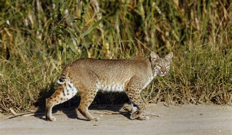 Georgia woman strangles rabid bobcat that tried to attack ...