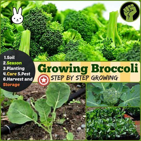 steps growing broccoli soil planting care harvest