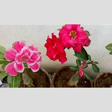 How To Grow Adenium Plant With Care Youtube