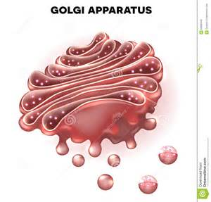Cell Golgi Apparatus
