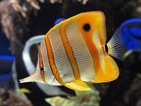 copperband butterflyfish  tropical fish