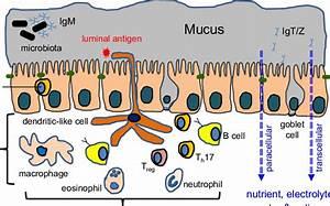 Diagram Of The Intestinal Mucosa In Teleost Fish  This Complex Tissue