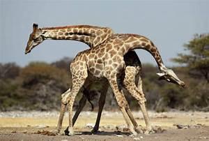 Giraffe - Fascinating Africa