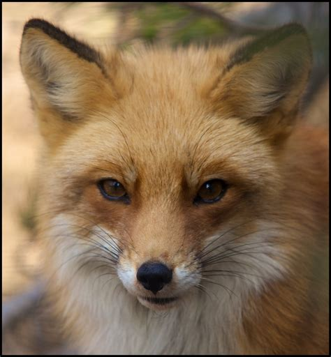 red fox vulpes vulpes part ii  change  world