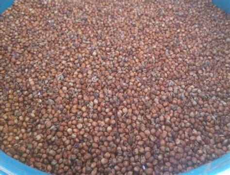 sorghum for sale grain seed sorghum for sale