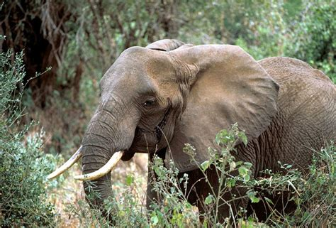 animals african elephant forest