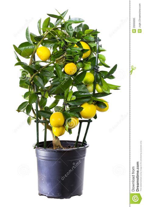 limone pianta in vaso pianta limone in vaso da fiori immagine stock