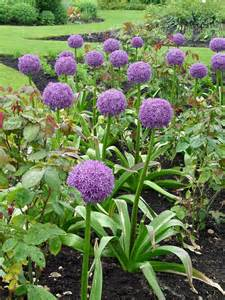 allium 39 globemaster 39 garden housecalls