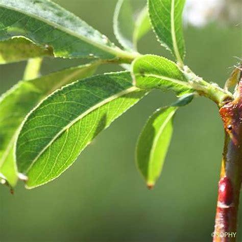 Saule faux Daphné - Salix daphnoides - quelle-est-cette ...
