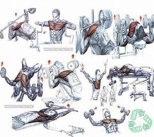 This Is A Great Diagram Of Various Chest  Arm  Shoulder