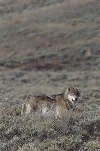 A Gray Wolf in Yellowstone National Park Wyoming