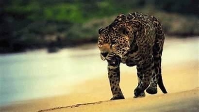 Wild Animals Spotted Beach Animal Leopard Gifs