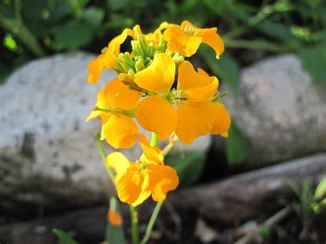 names flower wallflower common erysimum beginning
