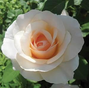 Diagramme Top Rose