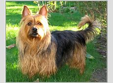 Australian Terrier dog breed information, pictures and