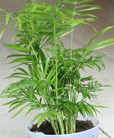 baum für innenbereich zimmerpalmen bilder welche sind die typischen palmen arten quot zimmerpflanzen quot palmen