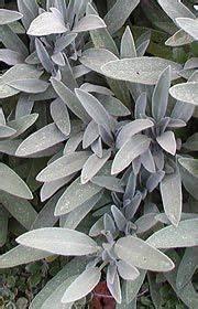 Winterharte Gräser Balkon : salvia lavandulifolia spanischer salbei garten pflanzen garten und garten ideen ~ Buech-reservation.com Haus und Dekorationen