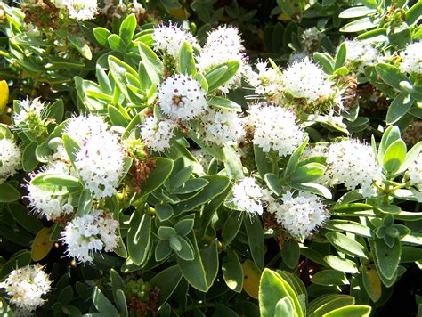 Hebe Albicans A Small (m) Evergreen Shrub With White