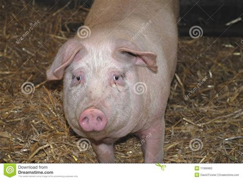 large white pig stock photo image  straw animal large