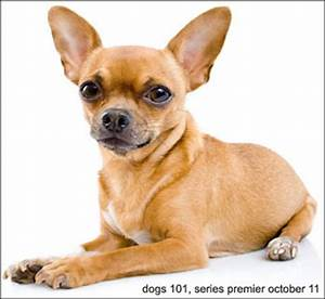 dogs 101 chihuahua