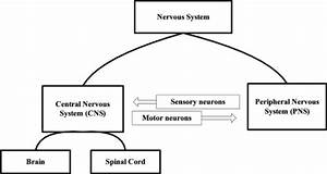 Schematic Diagram Of Nervous System