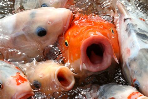 Mouth Fungus In Fish