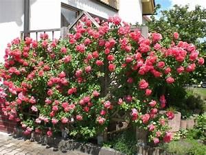 Haus Am Rosarium : kletterrose rosarium ttersen mein sch ner garten forum ~ Lizthompson.info Haus und Dekorationen