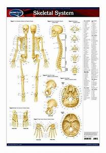 Skeletal System Poster