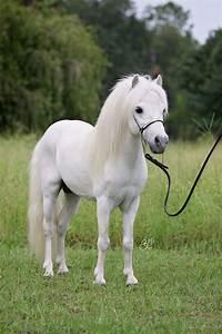 Arabiana, Miniature, Horses, On, Equinenow