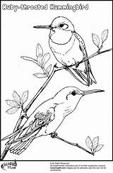 Hummingbird Coloring Pages Birds Drawing Bird Hummingbirds Flowers Drawings Flower Throated Ruby Printable Adult Venezuela Step Trinidad Colors Tobago Animals sketch template