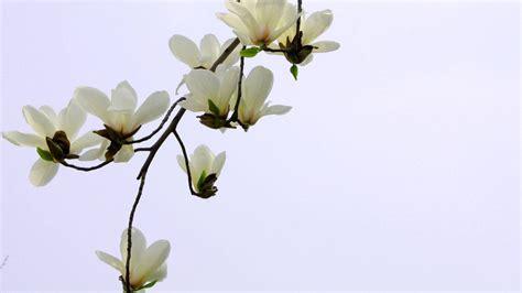 gardenia flower wallpaper