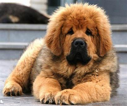 Mastiff Tibetan Dog Dogs Puppy Puppies Breeds