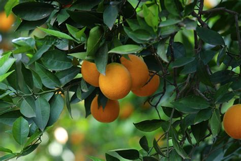 hd mango fruit tree wallpaper