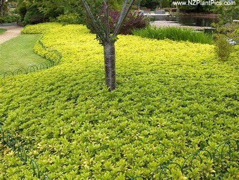 golden oregano ground cover ground cover plants plants